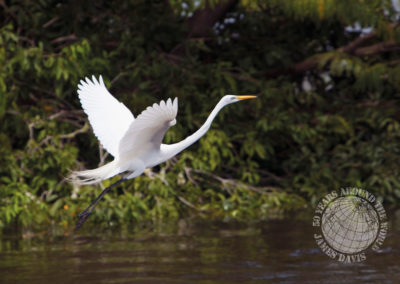 Great Egret, the Amazon