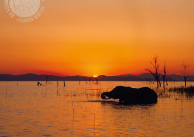 Elephant bathing at sunset